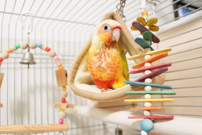 Pyuo's Craftのおもちゃで遊ぶウロコインコ