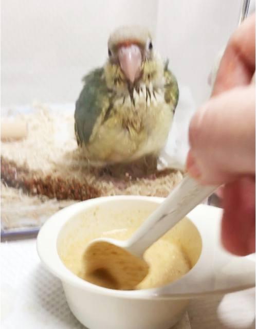 さし餌ウロコインコ 雛